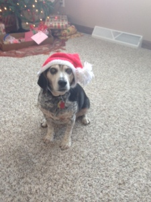 Bailey Christmas - Copy